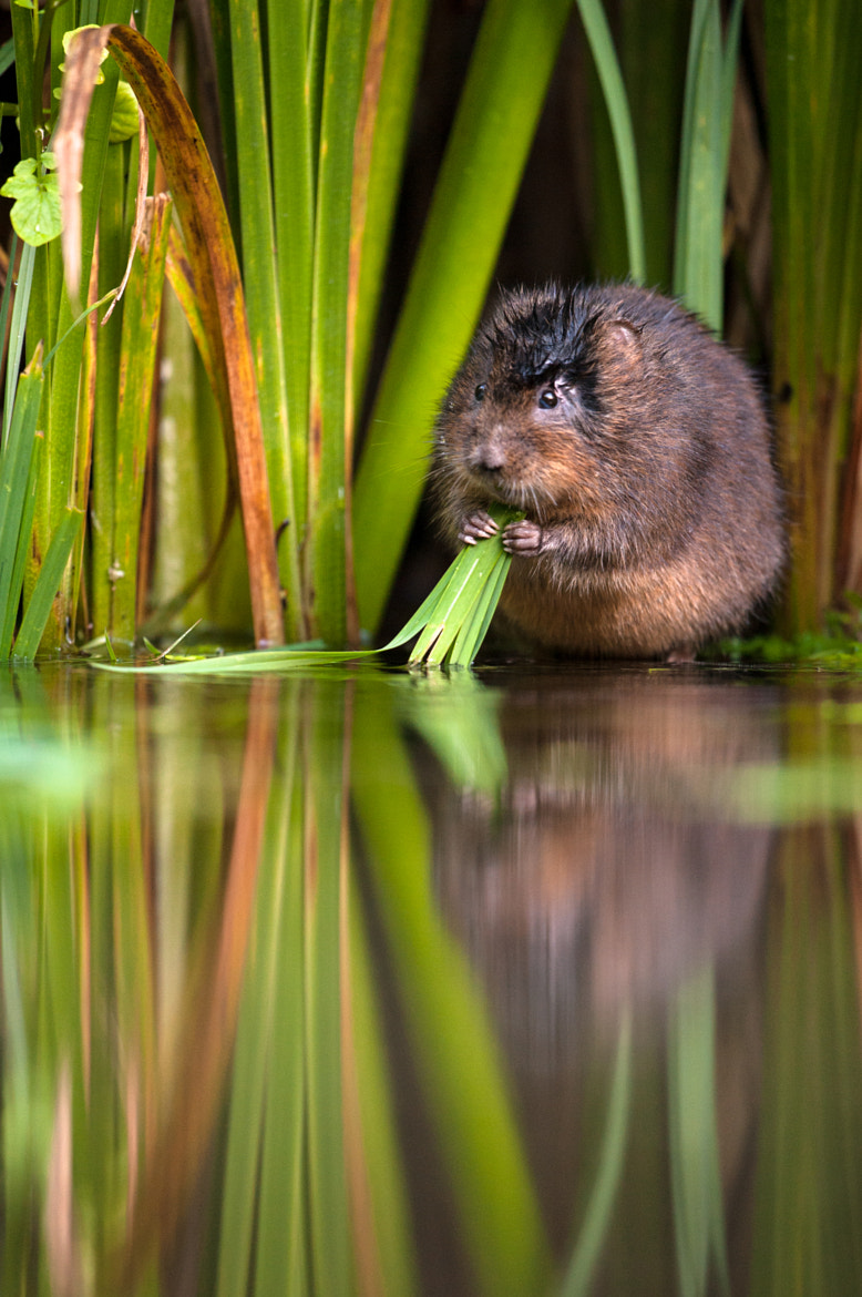 Photograph Water vole 2 by Philip Braude on 500px