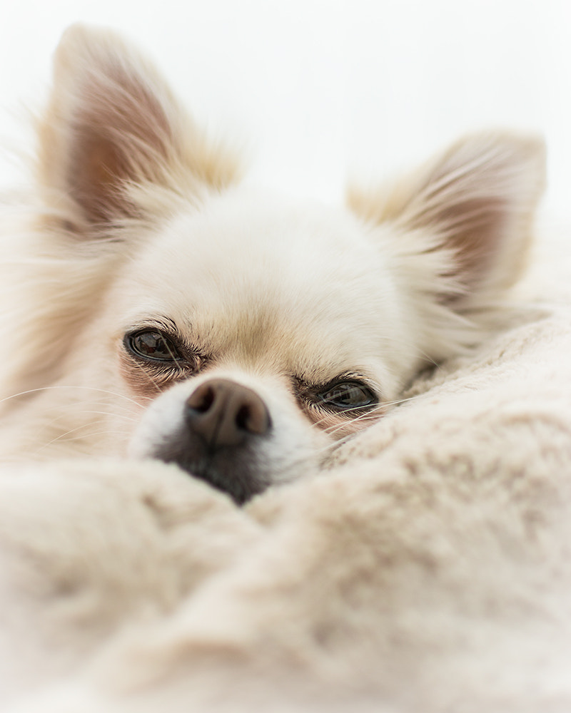 Photograph Dog In A Blanket by Andy Butler on 500px