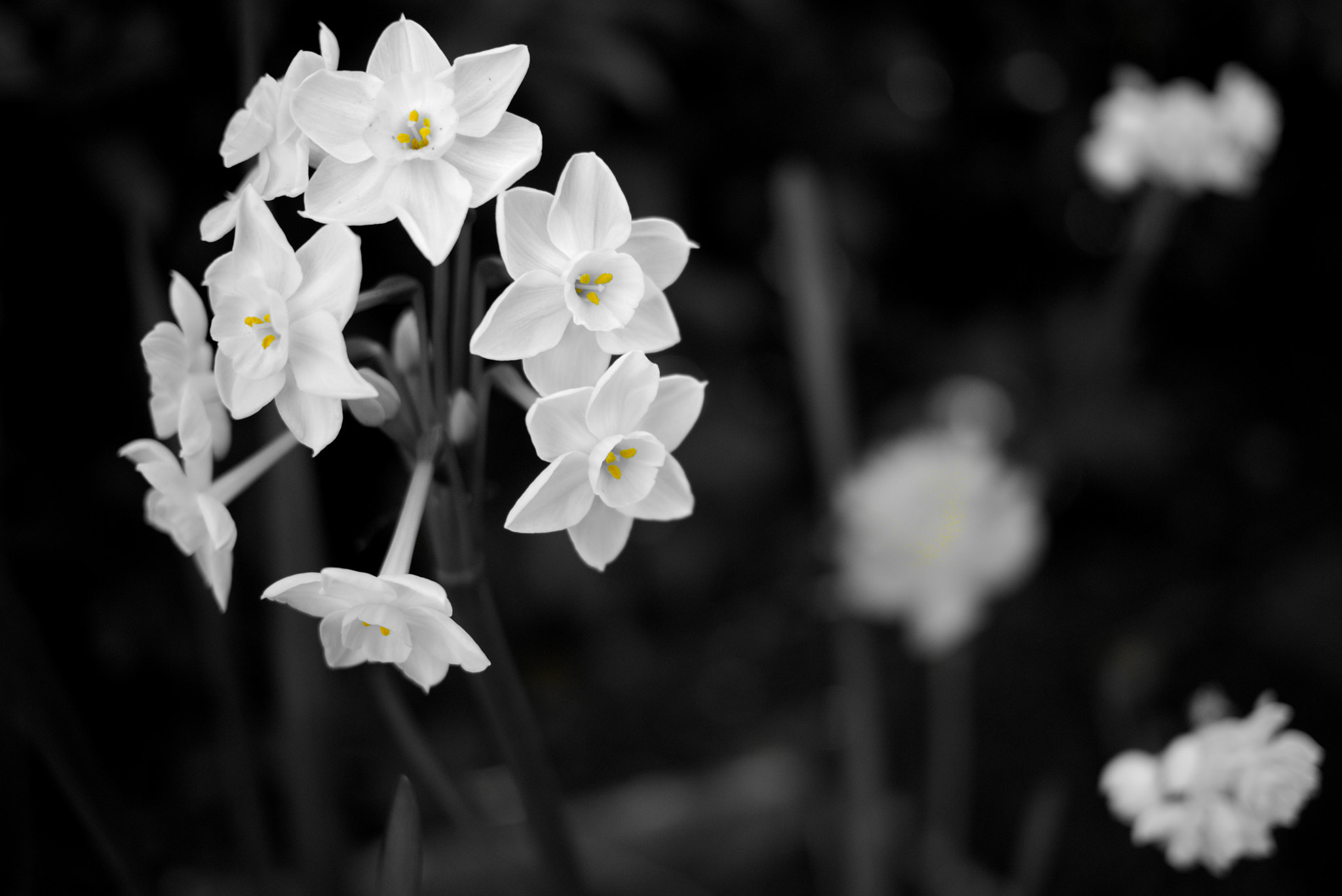 Photograph B&W Daffs with a touch of yellow by Christopher Hunt on 500px