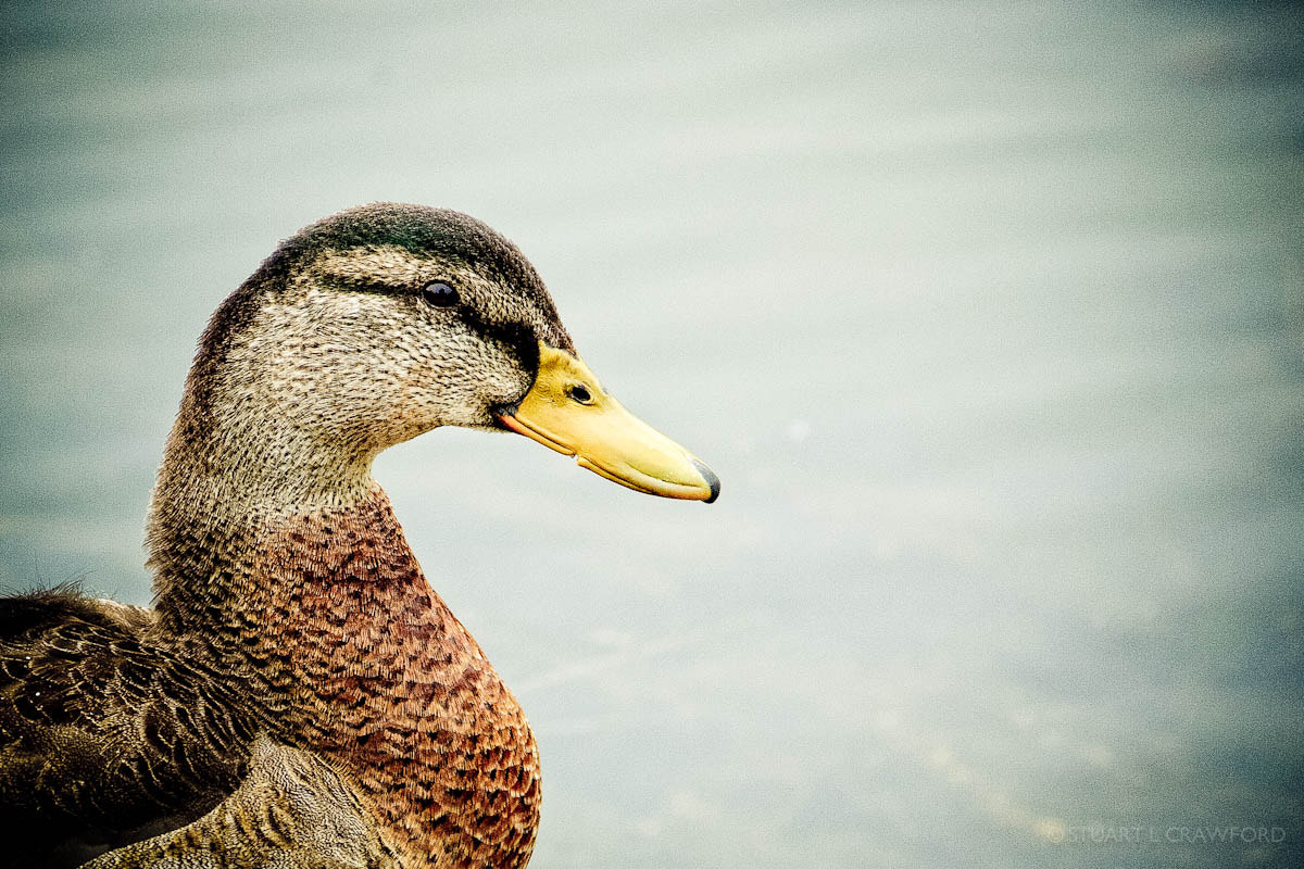 Photograph Duck by Stuart Crawford on 500px
