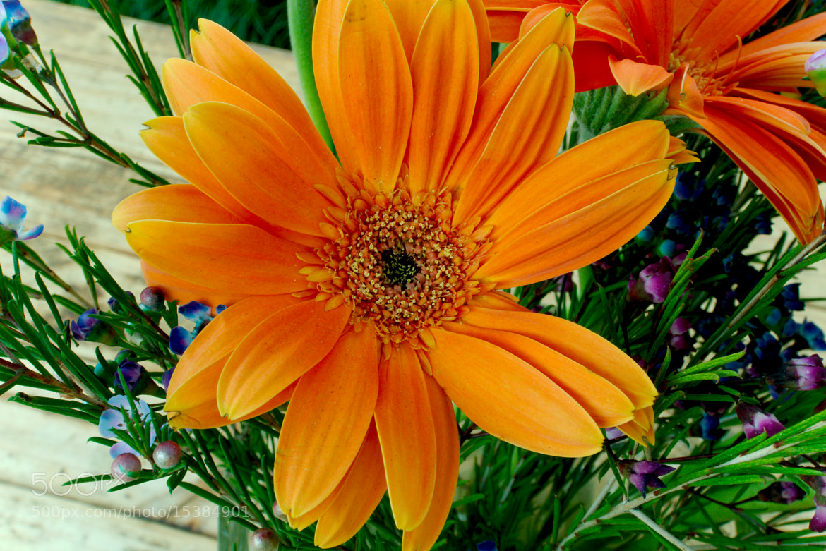 Photograph Orange Daisy for Sarah by Christopher Hunt on 500px