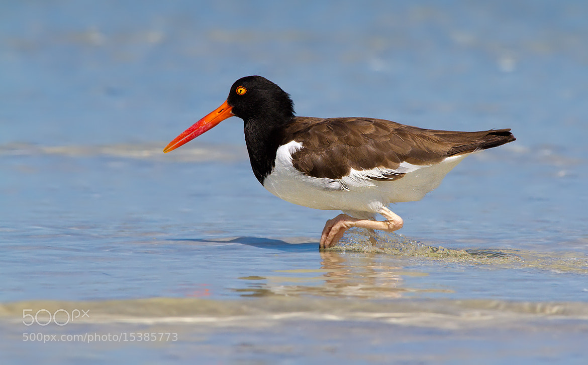 Photograph American Oystercatcher by Scott Helfrich on 500px