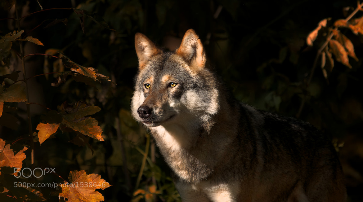 Photograph wolf look by Sonja Probst on 500px