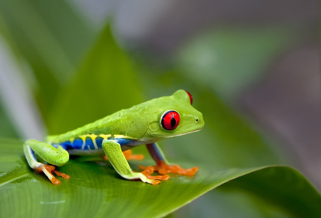 Photograph Costa Rican Red Eye Tree Frog by James Hilliard on 500px