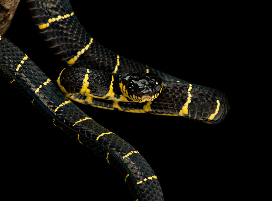 Photograph Mangrove snake II by Henrik Vind on 500px