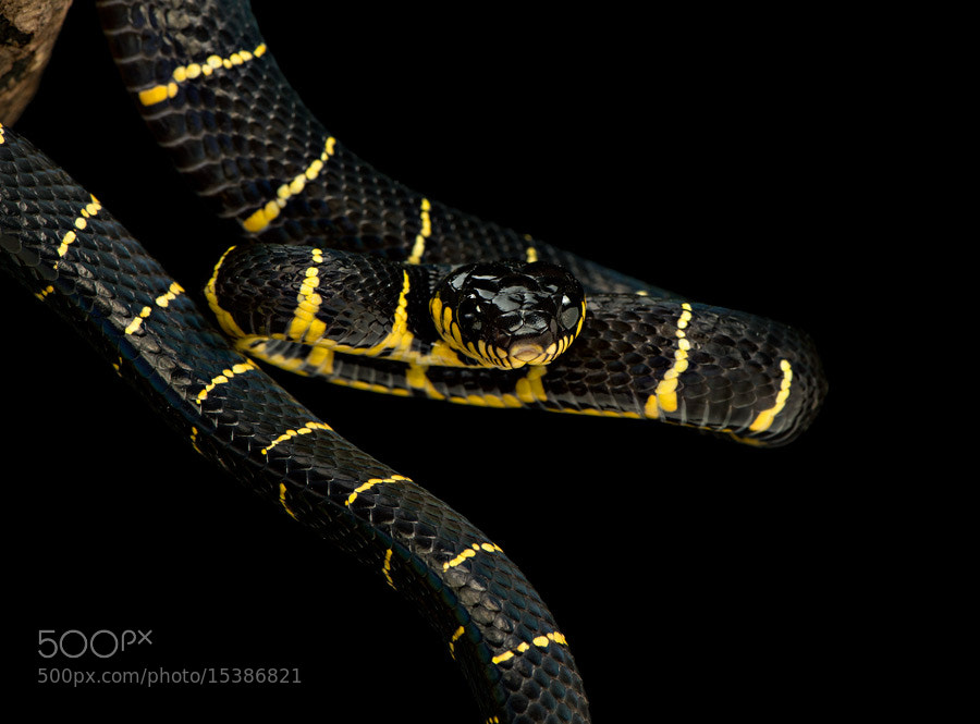 Photograph Mangrove snake II by Henrik Vind on 500px