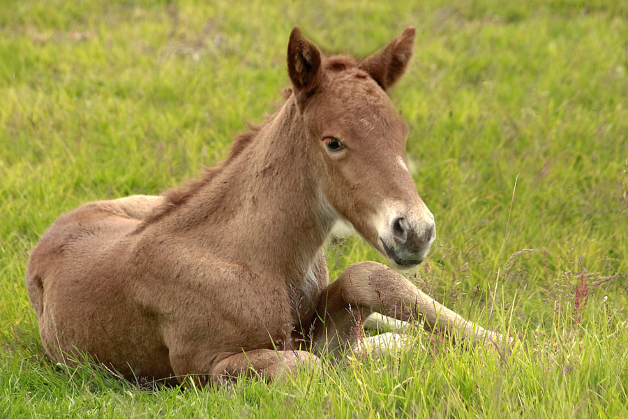 Photograph Cute little Icelandic foal by Anna Guðmundsdóttir on 500px
