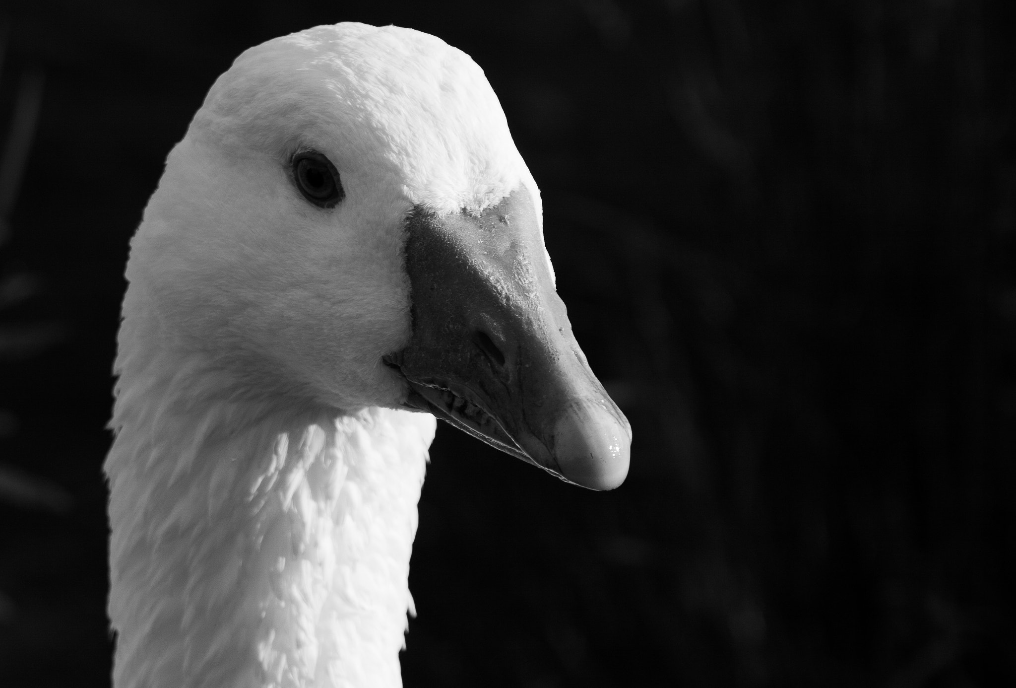 Photograph Goose by Mike Howe on 500px