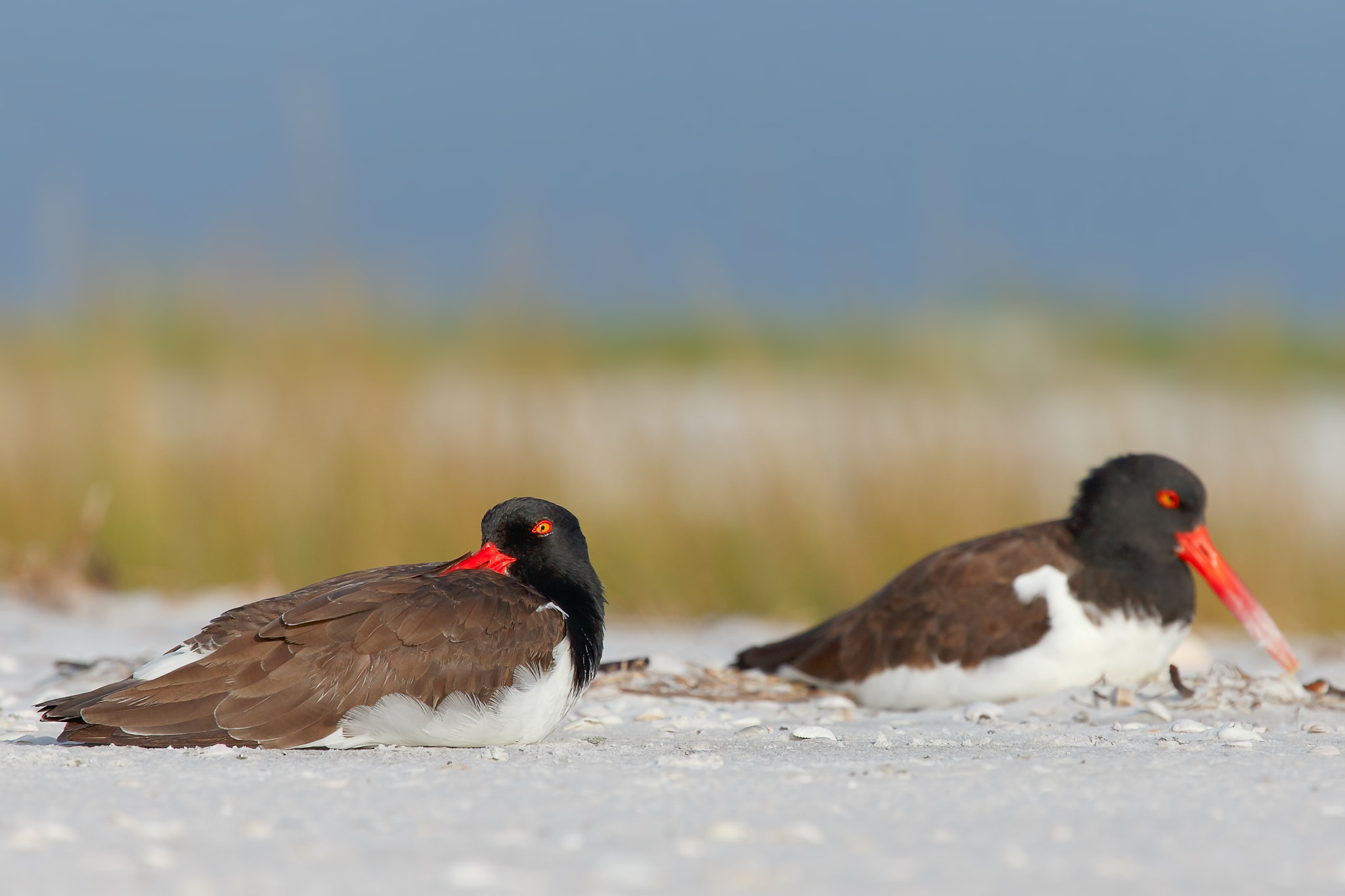 Photograph American Oystercatcher morning relaxation by Daniel Kaufman on 500px