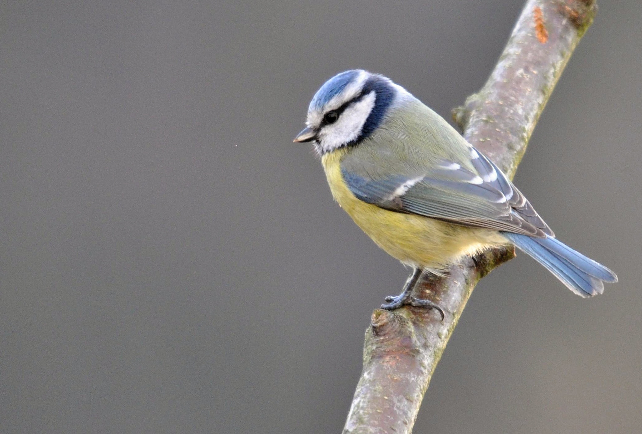 Photograph Blue tit (Parus caeruleus) by Přemysl Škaloud on 500px