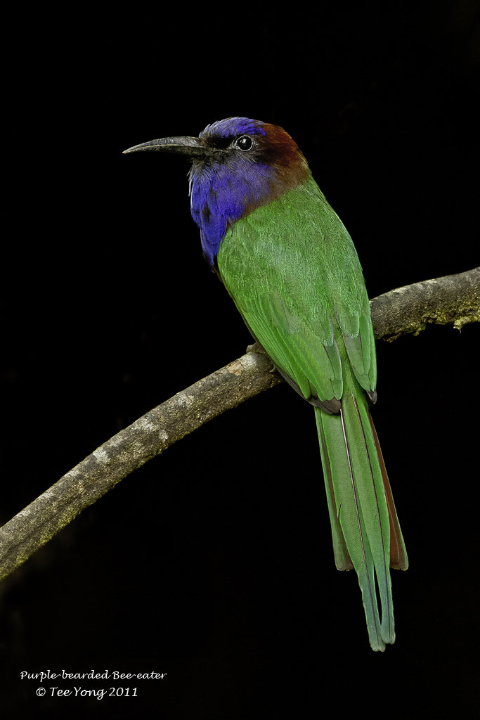 Photograph Purple-Bearded Bee-eater by TeeYong on 500px