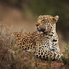 This is Rockfig Jr, a female leopard we encountered on the second morning of our safari in the Timbavati Private Game Reserve.  This image would have to be my absolute favourite from the safari, and it was an intense experience to be only a few metres from Rockfig Jr as she rested in the grass.