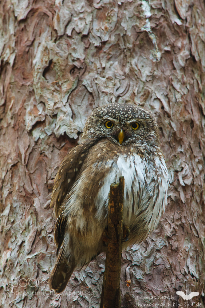 Photograph Glaucidium passerinum female by Thomas Marth on 500px