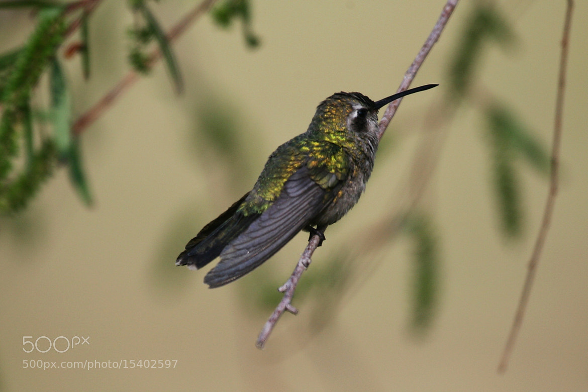 Photograph Colibrí  by Cristobal Garciaferro Rubio on 500px