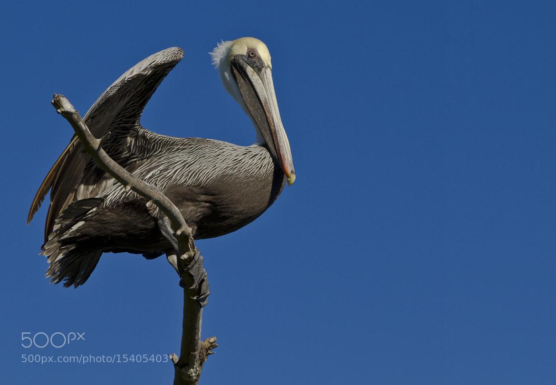 Photograph Pelican by Sergio Maldonado on 500px