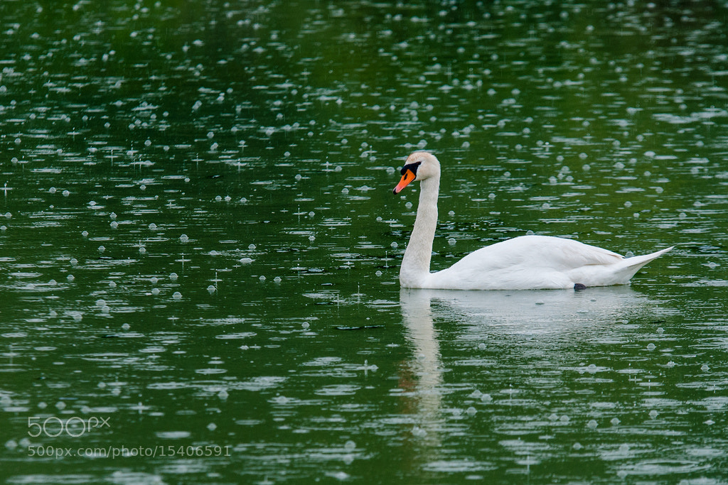 Photograph Swan in the rain by Umberto Salvagnin on 500px