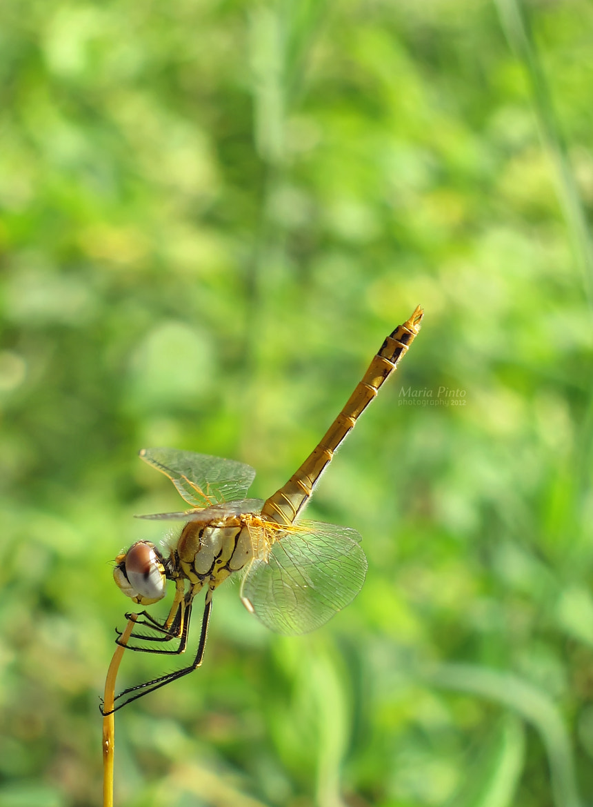 Photograph Red-veined Darter IX by Maria Pinto on 500px