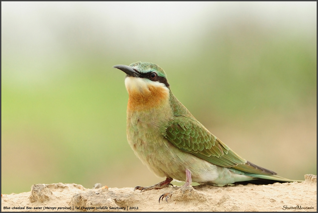 Photograph Blue-cheeked Bee-eater by Nishant Shah on 500px