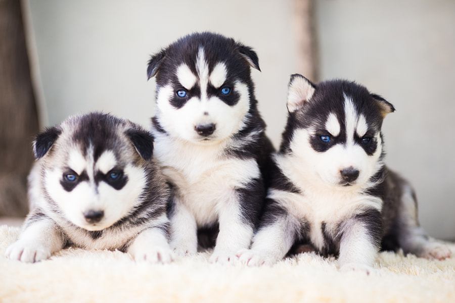 Husky Puppies by Gabby Deac on 500px.com