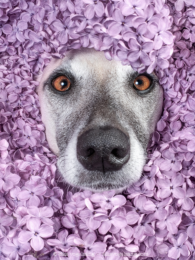 Spring pictures - Lilacs by Elke Vogelsang on 500px.com
