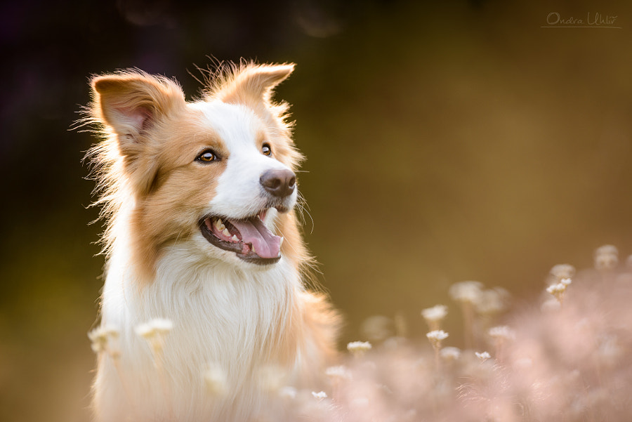 Border Collie Rio by Ondřej Uhlíř on 500px.com