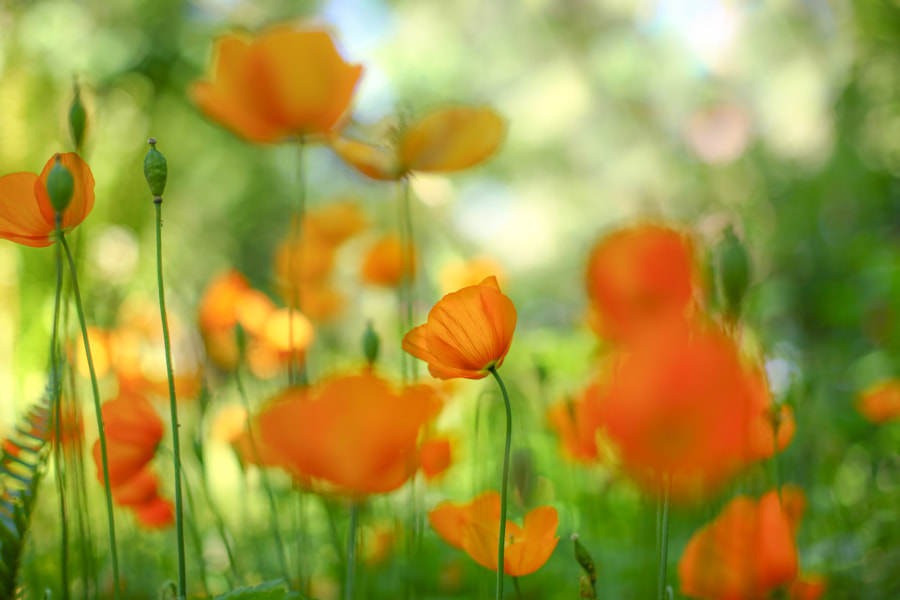 Pretty Little Poppy by Kimber Leigh on 500px.com