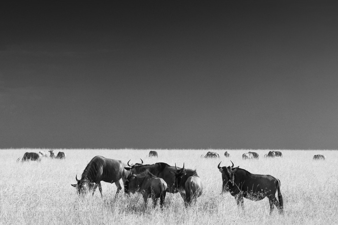 Photograph Wildebeests  by Lisa Mathiasen on 500px