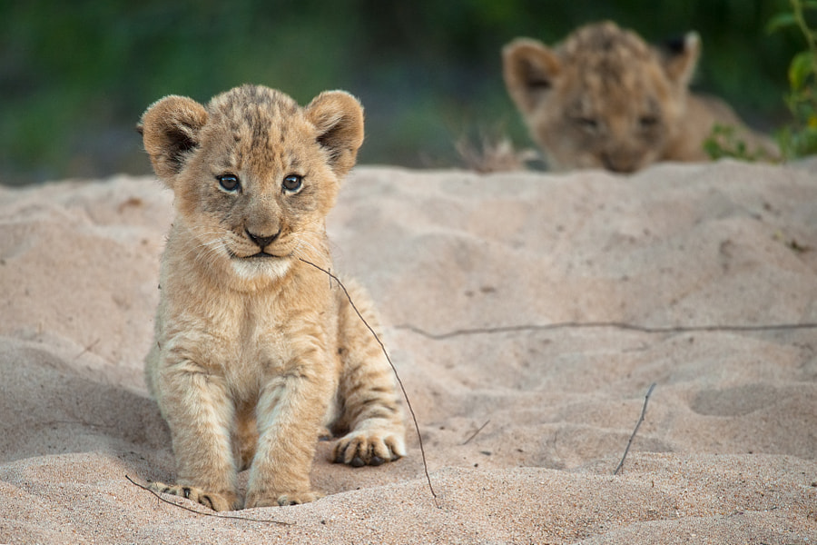 Lion Twins by Rudi Hulshof on 500px.com