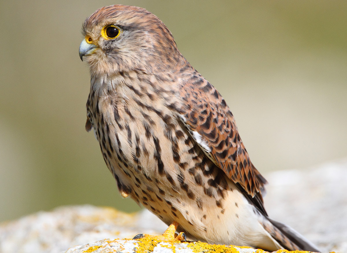Photograph Kestrel by Ray Purser on 500px