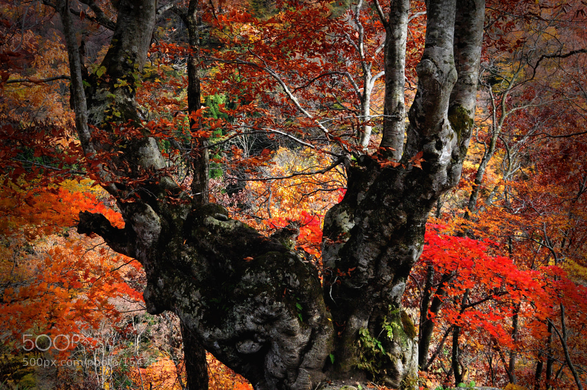Photograph ★ Old tree foliage by KEN OHSAWA on 500px