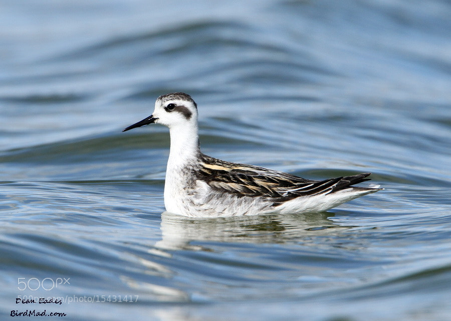 Photograph Red necked Phalarope  by Dean  Eades on 500px