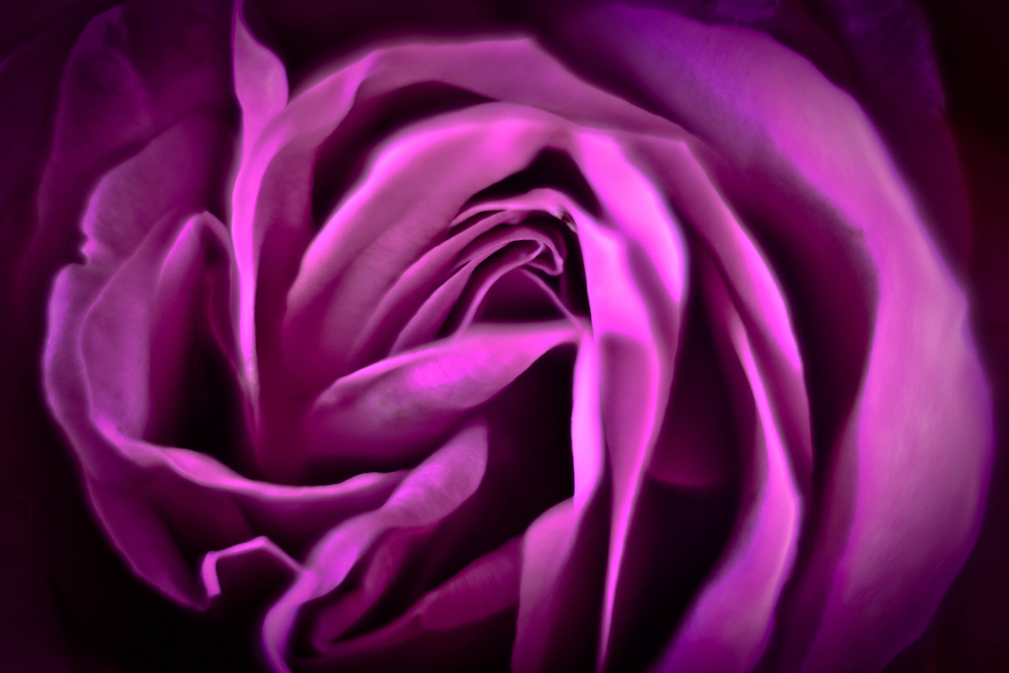 Photograph Purple rose by elizabeth ramos on 500px