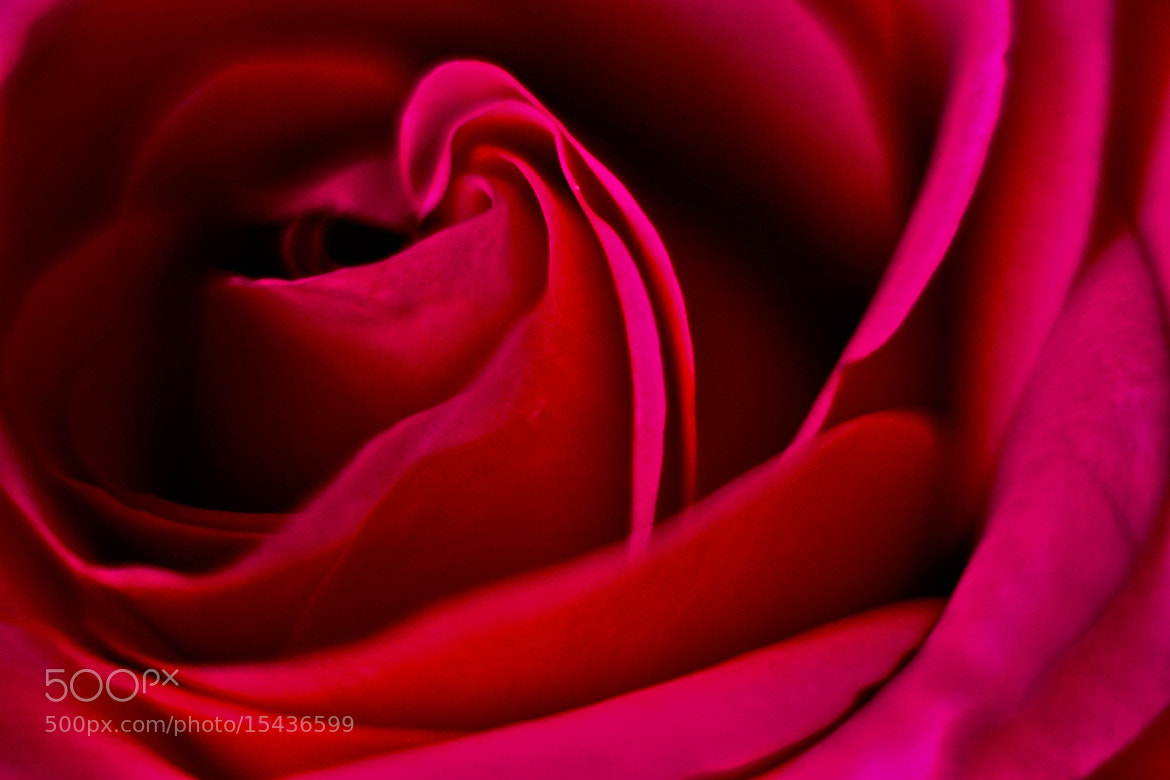 Photograph Red rose by elizabeth ramos on 500px