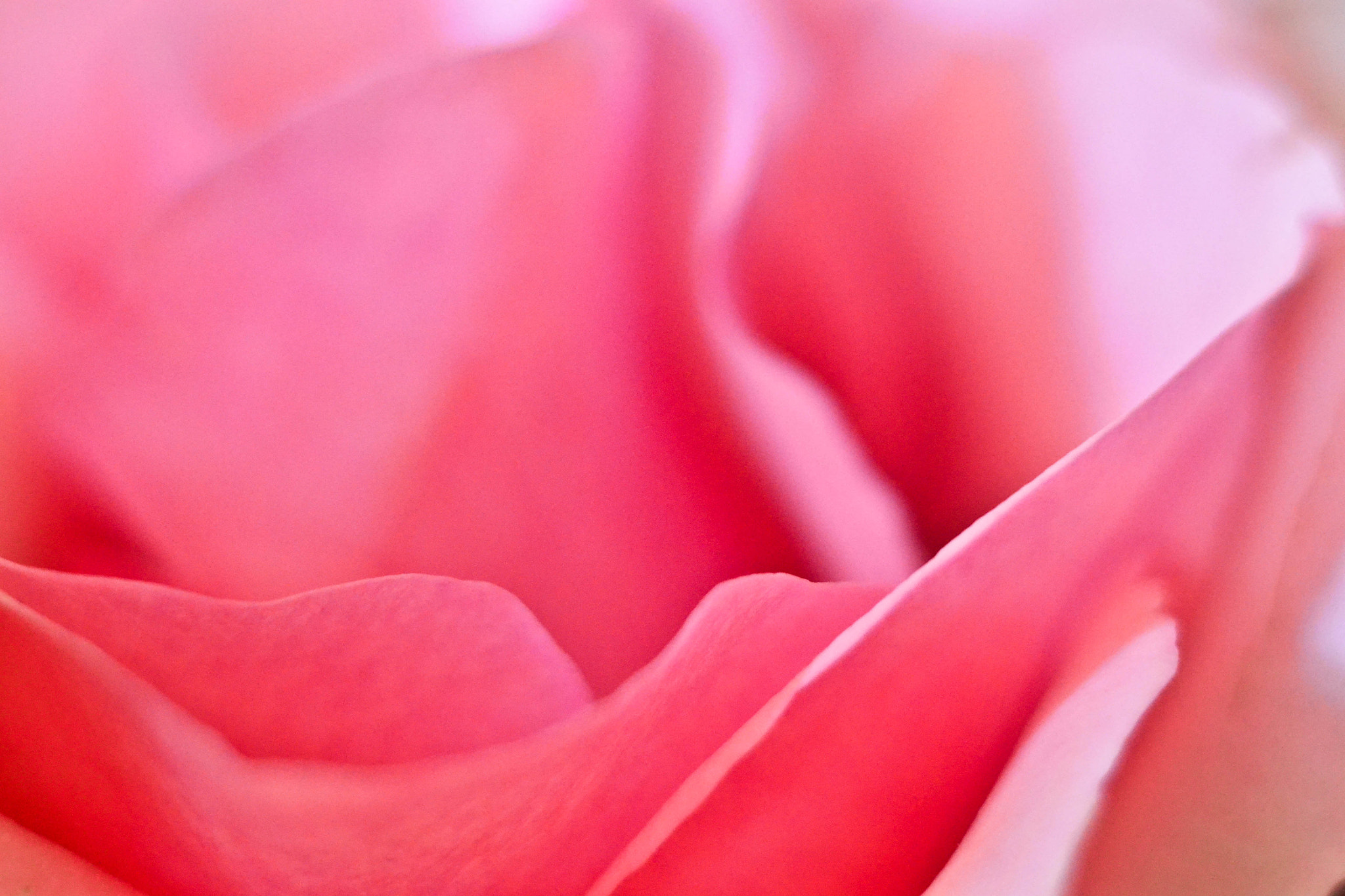 Photograph Pink rose by elizabeth ramos on 500px
