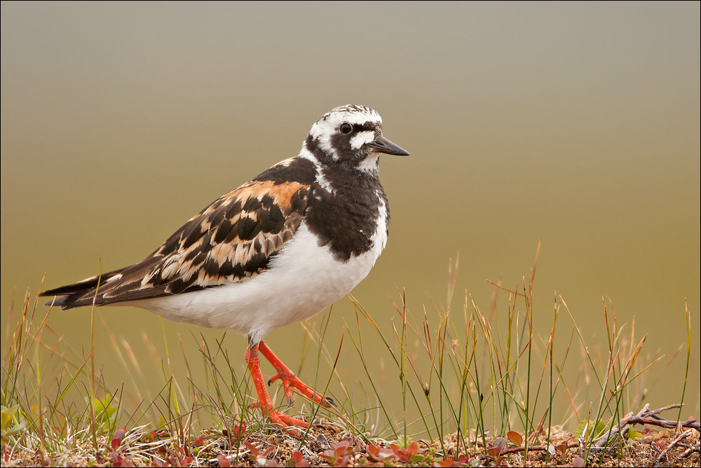 Photograph Turnstone by Attila Seprenyi on 500px