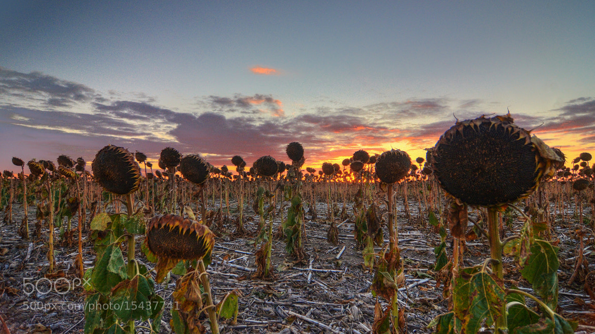 Photograph sunflower sunset by Dustin Miller on 500px
