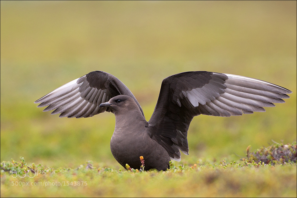 Photograph Arctic Skua by Attila Seprenyi on 500px