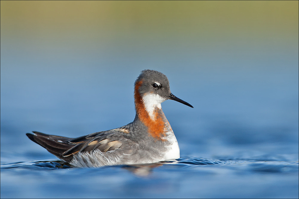Photograph Red-necked Phalarope by Attila Seprenyi on 500px