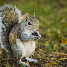 Squirrel eating Oreo !! by mahmood  Al Sawaf (mas-15)) on 500px.com