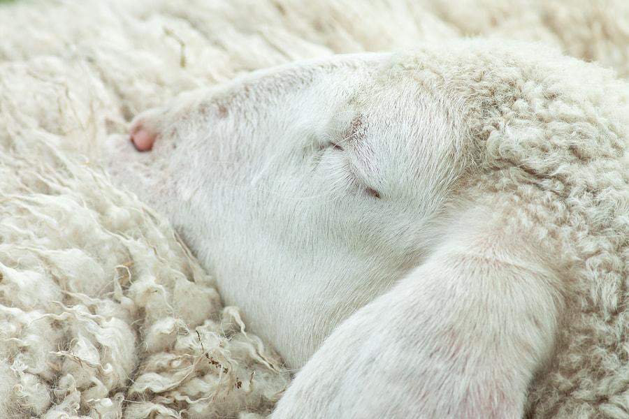 The Sleeping Lamb