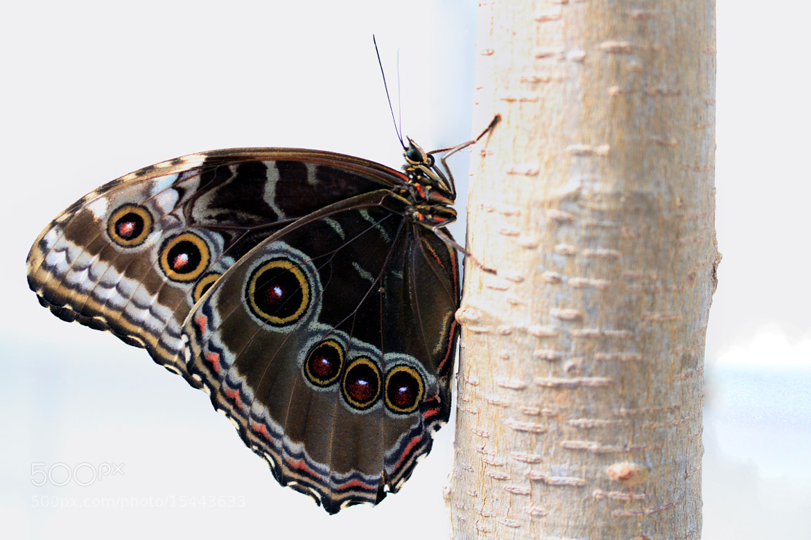Photograph Butterfly by Cristobal Garciaferro Rubio on 500px