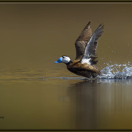 Dikkuyruk - White-headed duck, Nikon D4, Sigma APO 300-800mm F5.6 EX DG HSM