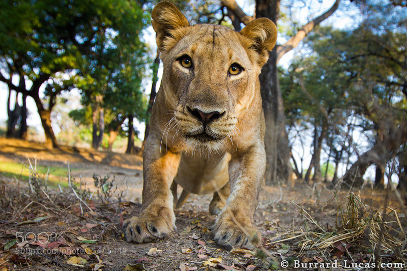 Photograph Lioness by Will Burrard-Lucas on 500px