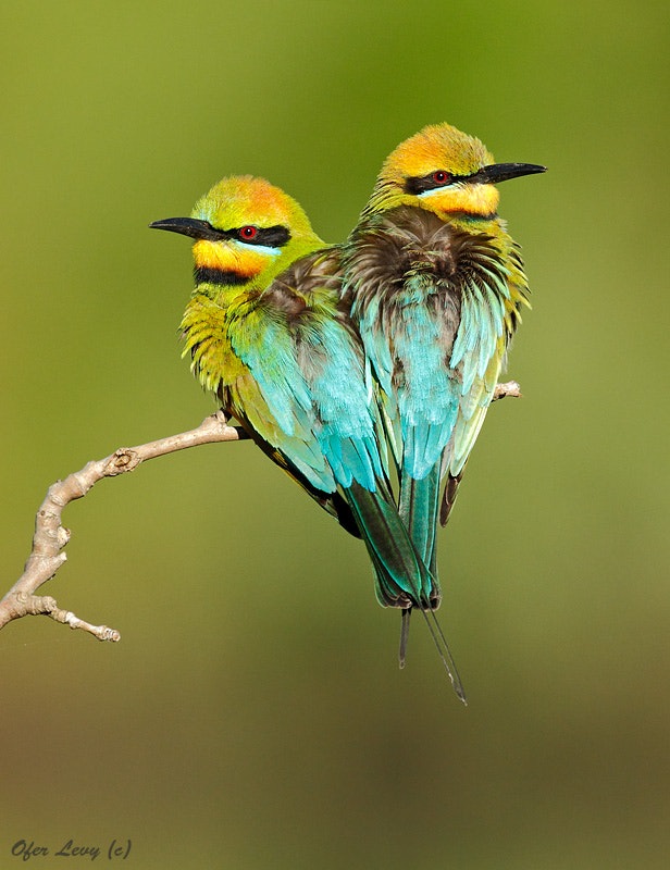 Photograph Rainbow Bee-eater pair by Ofer Levy on 500px