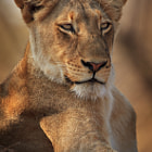 """During our four-day safari in Kruger Park, South Africa, this was our first of two lion sightings.  Two female lions were basking in the morning sun on a mound.  It was an intense experience to be a mere few metres from wild lions, who were completely unfussed about our presence.  Please view <a href=""""http://500px.com/photo/15447119"""">500px.com/photo/15447119</a> to see Mario Moreno's image of the same lioness; Mario was our tour guide, and was 1.5m away from me when I photographed this lioness."""
