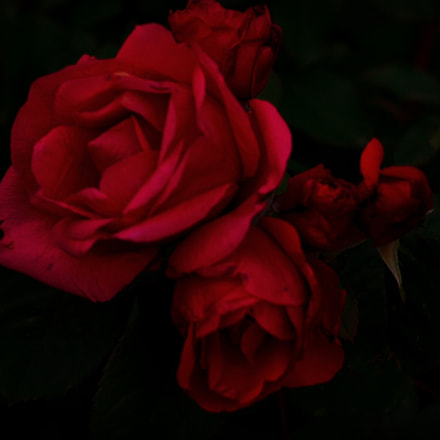 Crimson roses, Canon EOS REBEL T3, Canon EF 80-200mm f/4.5-5.6