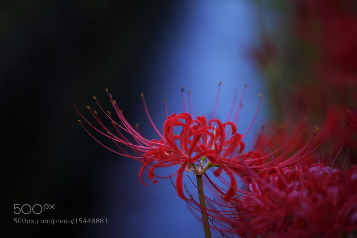 Photograph Lycoris by Tashi Delek on 500px