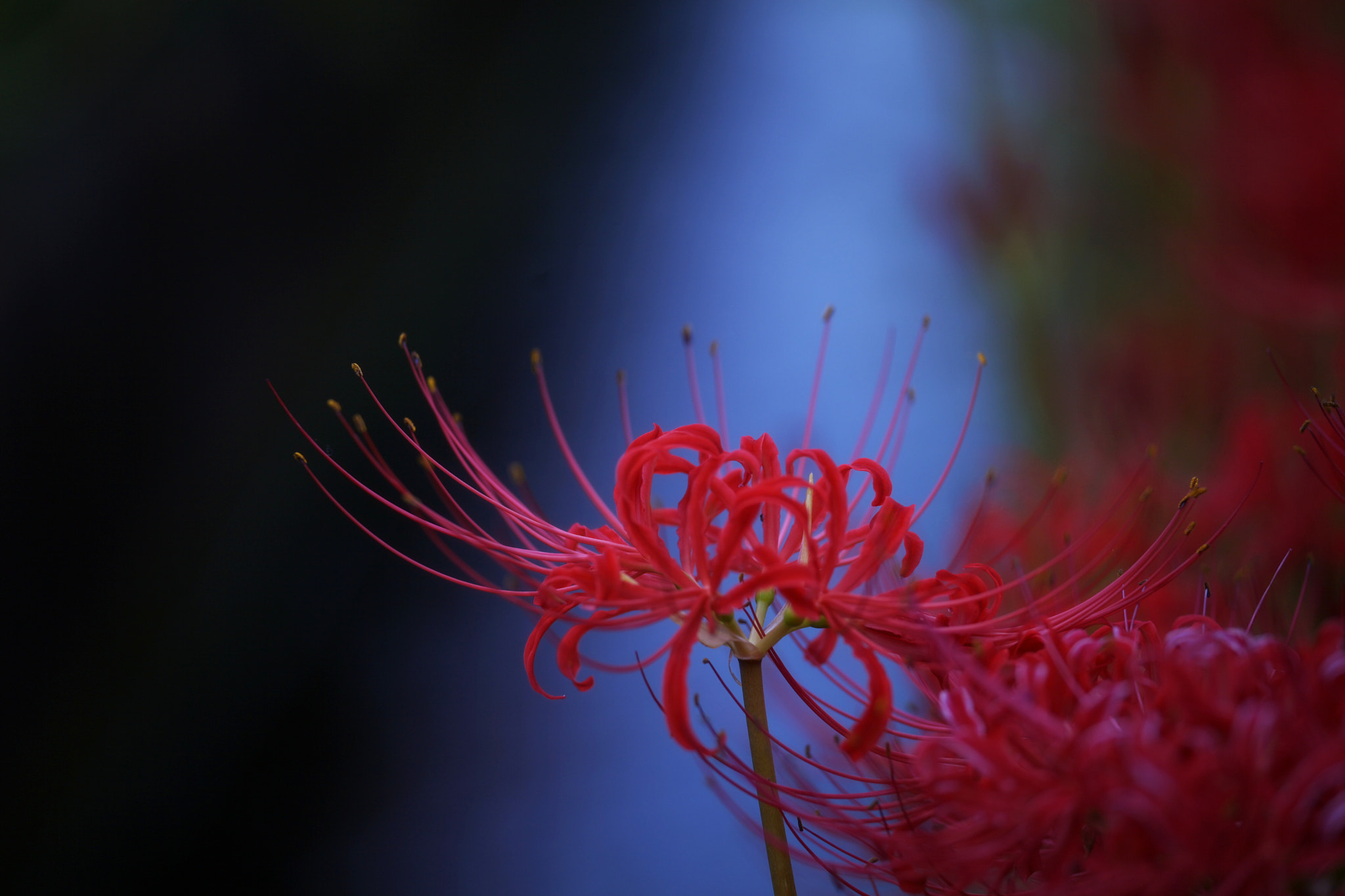 Photograph Lycoris by Tashi_Delek Nakata on 500px