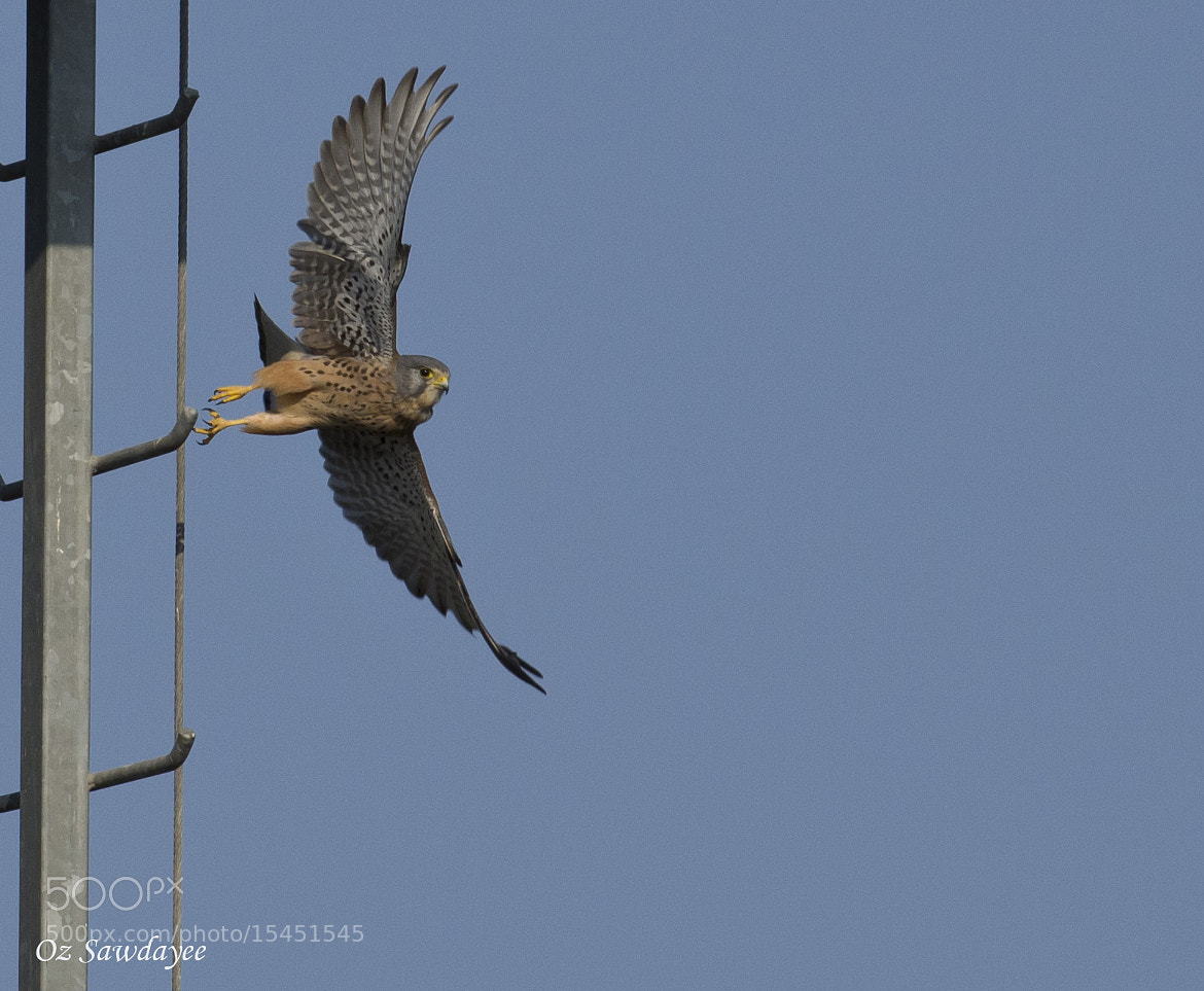 Photograph The Common Kestrel by Oz Sawdayee on 500px