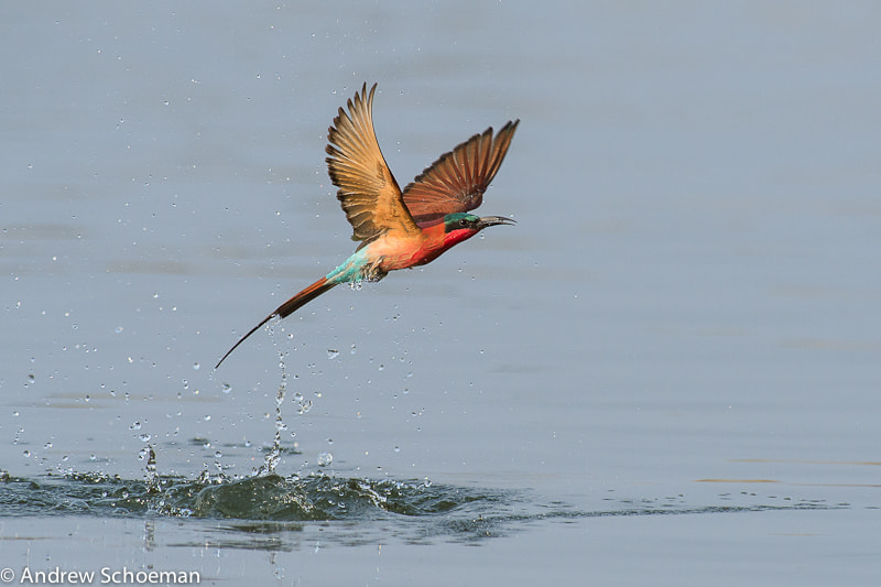 Photograph Bathing bee eater by Andrew Schoeman on 500px